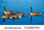 a family of canadian geese... | Shutterstock . vector #715898794