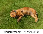 Small photo of dog lying on back on green grass,mixed spaniel dogs spaniel