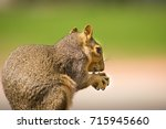 Small photo of Squirrel (Sciuridae) With Green Background