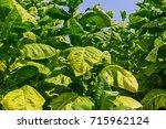 Small photo of Tobacco big leaf plants on tobacco plantation field background. Big tobacco leaves before harvest on tobacco plantations