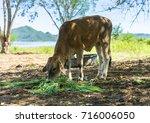 calf grazing in a field in... | Shutterstock . vector #716006050