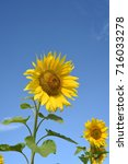two tall yellow sunflowers in... | Shutterstock . vector #716033278