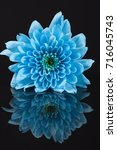 single blue chrysanthemum...
