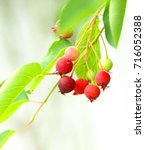 Small photo of June berry or amelanchier canadensis.