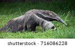 giant anteater. latin name  ... | Shutterstock . vector #716086228