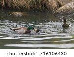 A Male Mallard Duck  Aka Wild...
