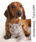 Stock photo british kitten and dog dachshund 71611399