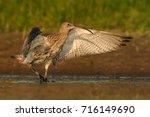 Eurasian Curlew   Numenius...