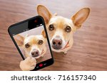 Stock photo curious chihuahua dog looking up to owner waiting or sitting patient to play or go for a walk 716157340