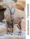 Small photo of Alpine Ibex, mountain goats