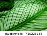 calathea majestica   | Shutterstock . vector #716228158