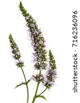 fresh young spearmint flowers... | Shutterstock . vector #716236096