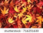japanese maple leaves in dreamy ... | Shutterstock . vector #716251630