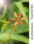 Small photo of Leopard lily, Blackberry lily and Leopard flower (Iris domestica) in the Iridaceae family.