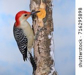 Small photo of A beautiful male Red- bellied Woodpecker at winter suet.