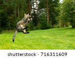 cat jumping and playing on... | Shutterstock . vector #716311609