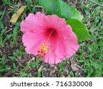 hibiscus rosa sinensis  chinese ... | Shutterstock . vector #716330008