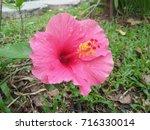 hibiscus rosa sinensis  chinese ... | Shutterstock . vector #716330014