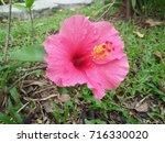 hibiscus rosa sinensis  chinese ... | Shutterstock . vector #716330020