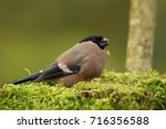 the bullfinch  common bullfinch ... | Shutterstock . vector #716356588