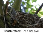 baby robin nuzzled down in the... | Shutterstock . vector #716421463