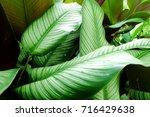 calathea majestica   | Shutterstock . vector #716429638
