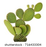 opuntia cactus isolated on... | Shutterstock . vector #716433304