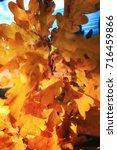 bright yellow oak leaves....   Shutterstock . vector #716459866