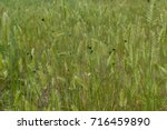 Small photo of Green beetles on the steppe grass (agropyron)