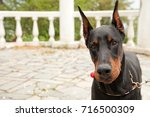 Black Doberman Dog In The Park...