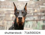 Black Doberman In The Park