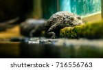 scary looking crocodile of the... | Shutterstock . vector #716556763