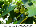 fruit tree | Shutterstock . vector #716568103