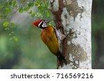 Greater Flameback Woodpecker ...