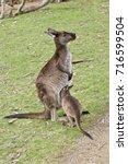 The Joey Kangaroo Island...