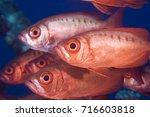 A School Of Bigeye Fish
