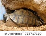 african spurred tortoise at... | Shutterstock . vector #716717110