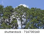 pine  tree of the pinaceae... | Shutterstock . vector #716730160