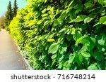 hornbeam  carpinus betulus ... | Shutterstock . vector #716748214