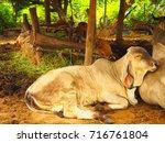 Calf Sleeping In Farm   White...