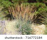 indian grass   sorghastrum... | Shutterstock . vector #716772184