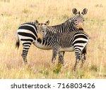 cape mountain zebra  equus... | Shutterstock . vector #716803426