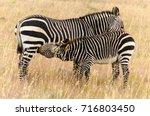 cape mountain zebra  equus... | Shutterstock . vector #716803450