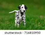 adorable dalmatian dog outdoors ... | Shutterstock . vector #716810950