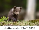 two young brown bear cub in the ... | Shutterstock . vector #716811010