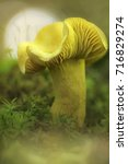 Small photo of Tricholoma sulphureum, also known as sulphur knight or gas agaric