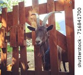 Small photo of goat with big horns stuck in wooden gate