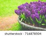 violet blooming hyacinth... | Shutterstock . vector #716878504