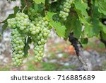 grapes white wine on tree... | Shutterstock . vector #716885689