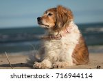 red and white fluffy collie... | Shutterstock . vector #716944114